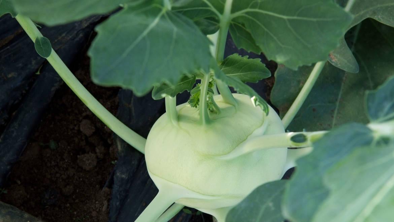 Coltivare il cavolo rapa, Agri Italia inizia il trapianto delle piante