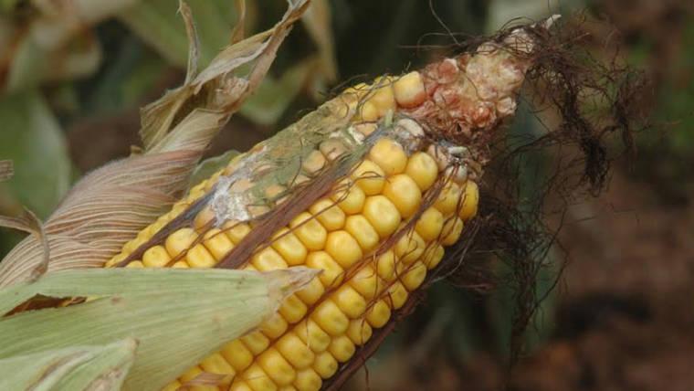 Micotossine negli alimenti, come riconoscerle ed evitarle