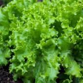 Coltivare la lattuga lollo verde, ecco come avere una fresca insalata sempre pronta in casa
