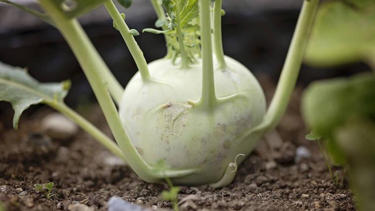 Benefici del cavolo rapa, scopriamo insieme i segreti di questo vegetale