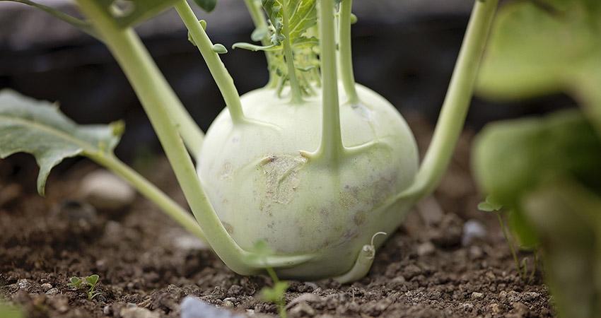 La brassica oleracea gongylodes è un ortaggio ricco di vitamine e proprietà salutare. Non esitare a provarlo nelle tue ricette. Affidati ad Agritalia, leader nella produzione di cavolo rapa.