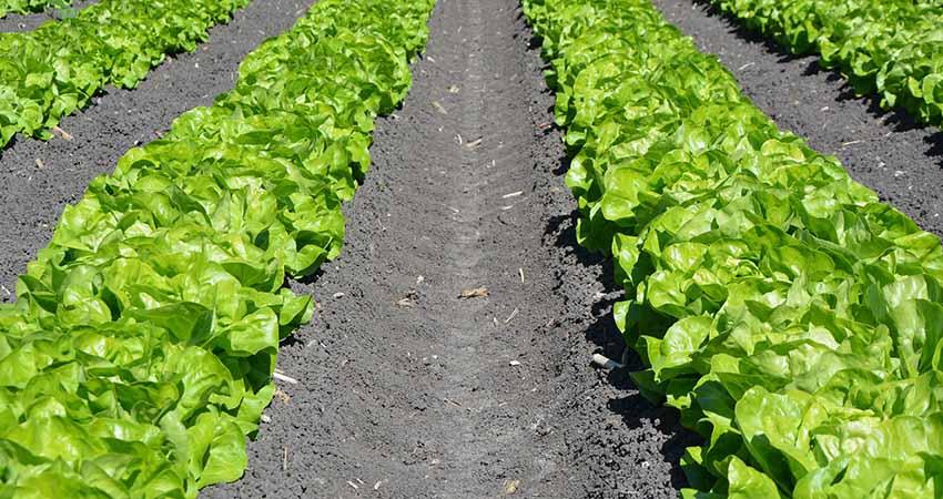 Agritalia possiede coltivazioni di lattuga nostrana, coltivata con la dovuta attenzione e trattamenti.