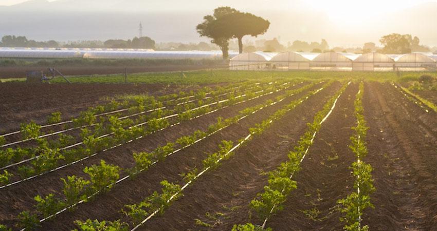 Agritalia è esperta nell'agricoltura integrata di lattuga, ravanelli, cavolo rapa e anguria