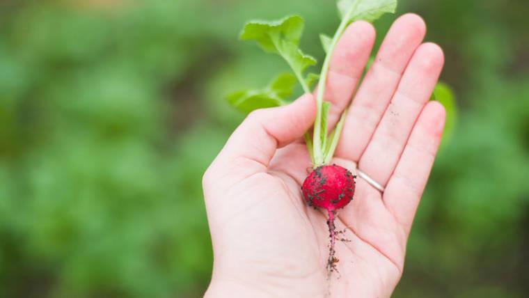Coltivazione di ravanelli invernali con tecniche agronomiche a basso impatto ambientale