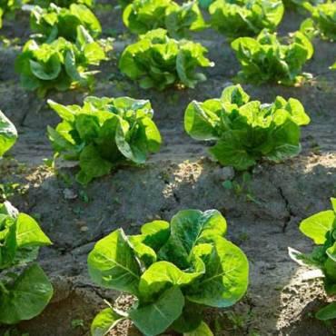 Le produzione di lattuga di Agritalia