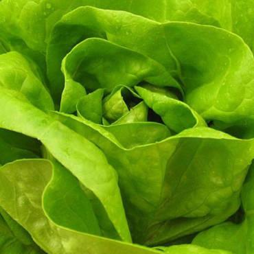 Agritalia inizia la produzione di lattuga trocadero