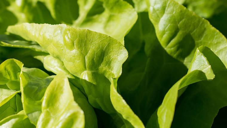 Raccolto di lattuga, i segreti dell'ortaggio