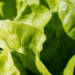 Die verschiedenen salatsorten
