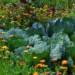 Le malattie del cavolo, vediamo come difendere i nostri raccolti con prodotti naturali