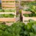 Agritalia, azienda agricola dell'agro pontino specializzata in ravanelli, cavolo rapa e anguria