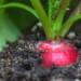 Coltivare i ravanelli in seme ed in vaso, vediamo le differenze