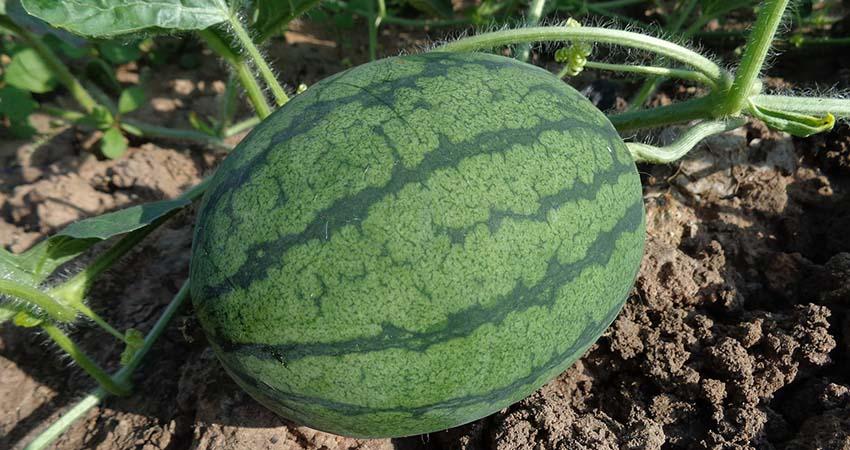 Trapianto di anguria, affidati ad Agritalia per il tuo raccolto di cocomero Dumara