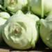 Cavolo rapa bianco, il vostro alleato per perdere peso e prevenire il cancro
