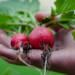 Ravanelli per la grande distribuzione: Agritalia rifornisce le tavole degli italiani