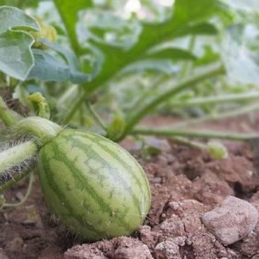 Le piante di anguria, vediamo le tecniche di coltivazione in campo aperto