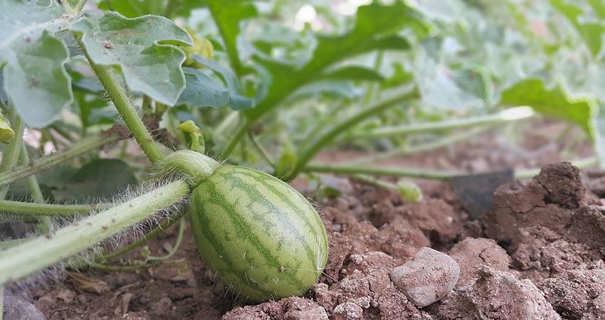 Produzione agricola cocomero Dumara