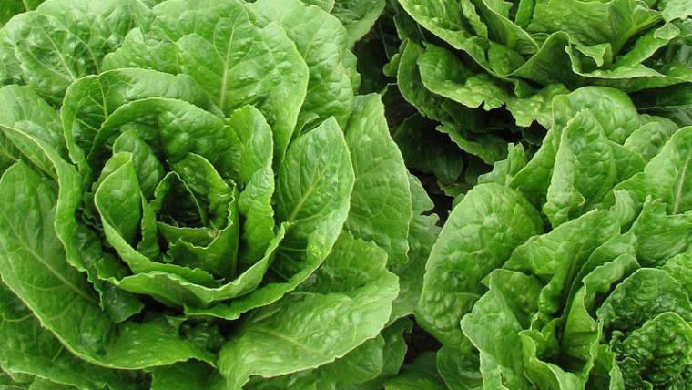 Lactuca sativa: vediamo nel dettaglio tutti i benefici che comporta l'assunzione della lattuga
