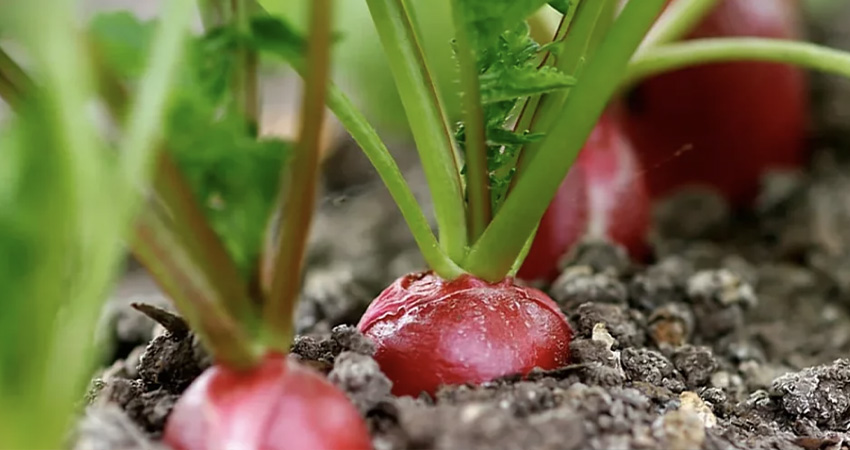 Coltivare i ravanelli in vaso, una rapida guida