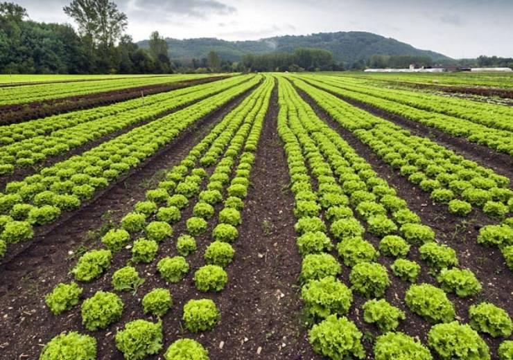 Le problematiche più comuni che si incontrano durante la produzione della lattuga