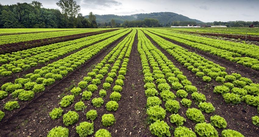 Come proteggere le piante di lattuga dai parassiti