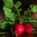 La semina dei ravanelli, come ottenere una buona produzione