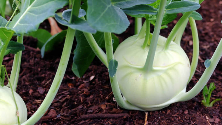 Agritalia è fornitore di Cavolo rapa bianco per la grande distribuzione