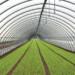 Coltivazioni invernali, come proteggere i ravanelli dai picchi di gelo