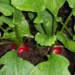 Coltivatori di Ravanelli rossi, le tecniche di coltivazione messe in pratica da Agritalia