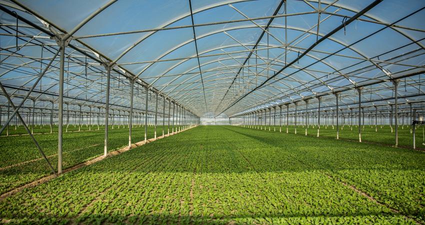 coltivazione sostenibile di lattuga invernale
