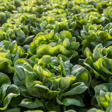 Produzione eco-sostenibile di lattuga invernale