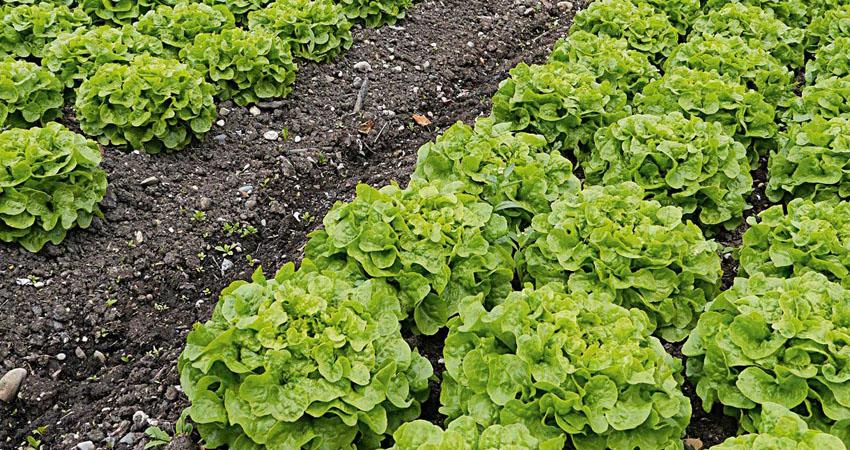 Lavorazione del terreno per coltivare la lattuga da cespo