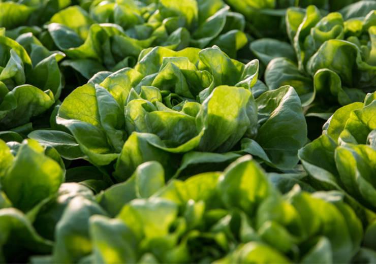 Come cucinare la lattuga: Ricette facili e veloci