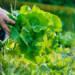 Coltivazioni di lattuga con tecniche agronomiche