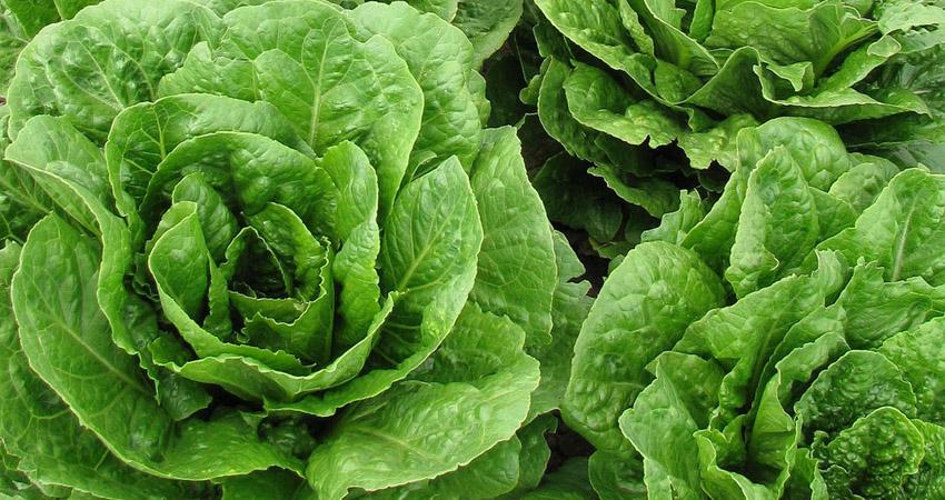 La lattuga non si usa solamente per le insalate