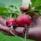 Vendita di ravanelli all'ingrosso in tutta Europa